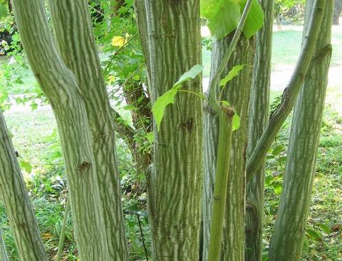 Strimlönnen har en ormskinnsliknande sprucken bark med vita strimmor.