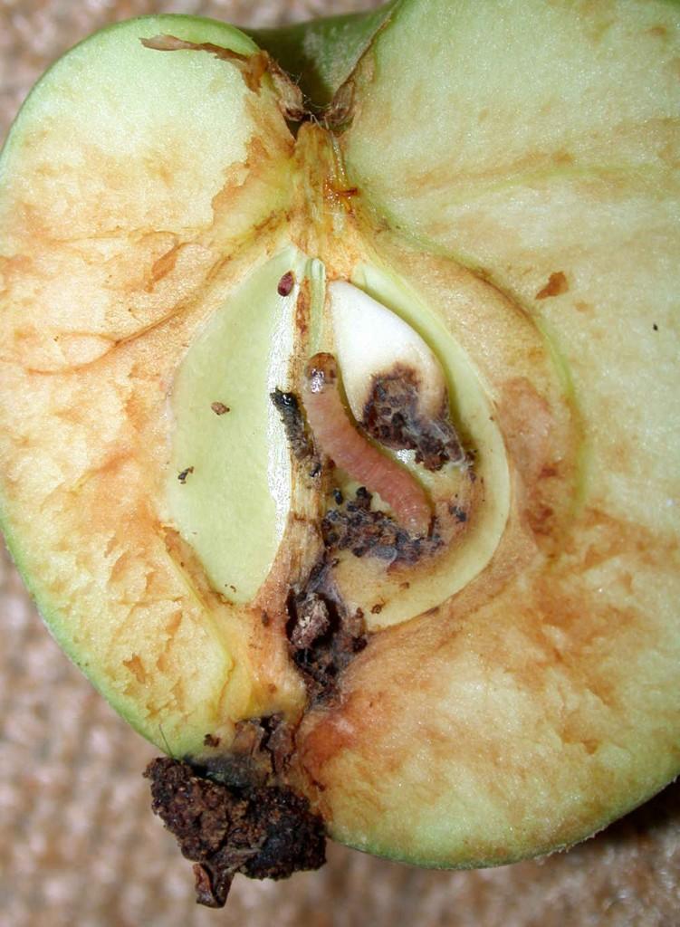 Äppelvecklarens larv äter sig in i äpplet och sprider sin illasmakande avföring.