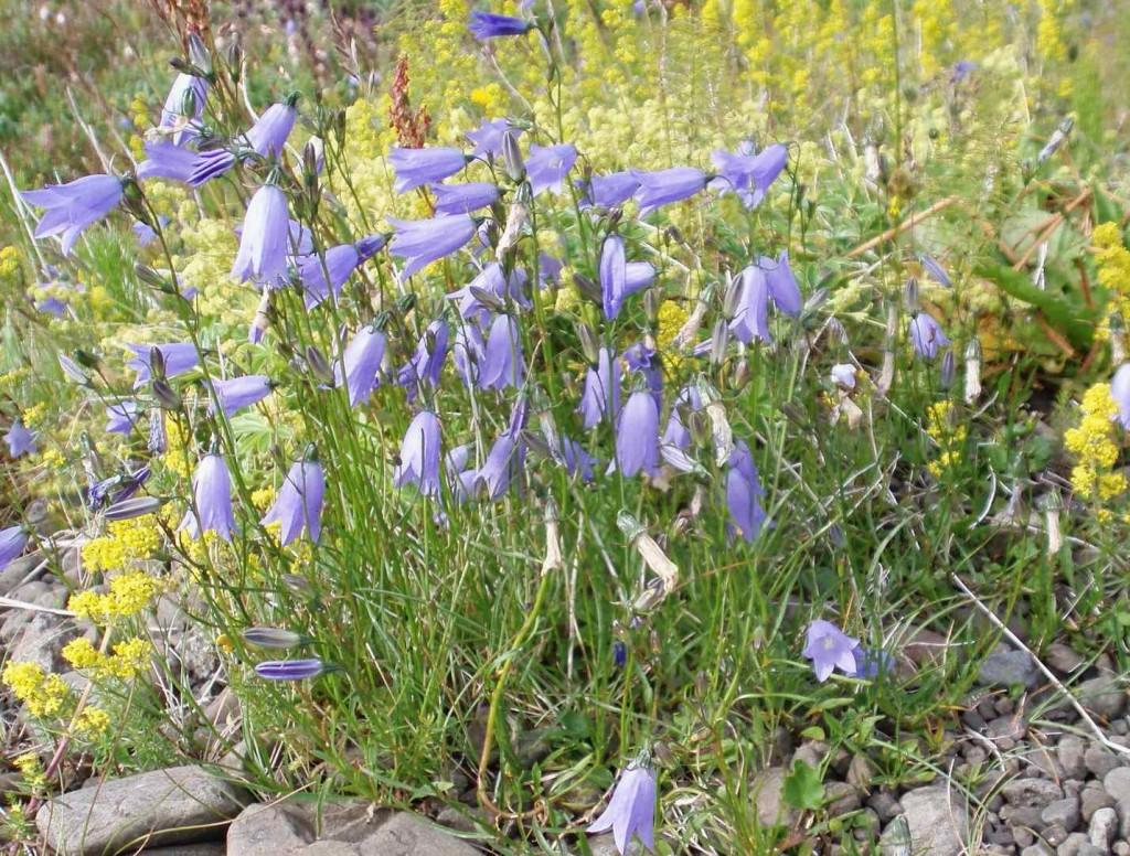 På de torra växtplatserna trivs blåklockan som granne till gulmåran.