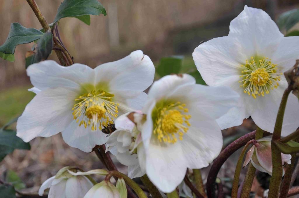 Julrosen är ofta tidigt i blom. Gynnsamma vintrar redan i december.