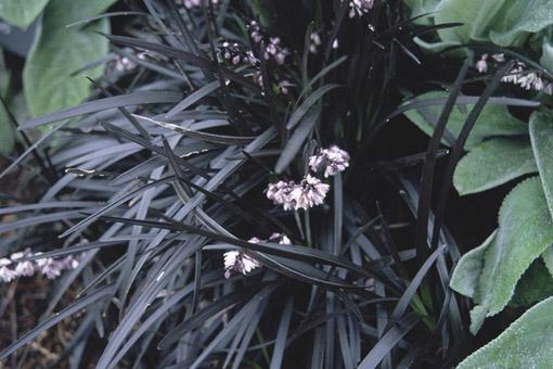 Ormskägg är en dyrbar och långsamväxande växt.
