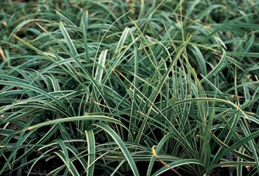 Vitbrokiga gräset japansk starr planteras ofta i krukor.