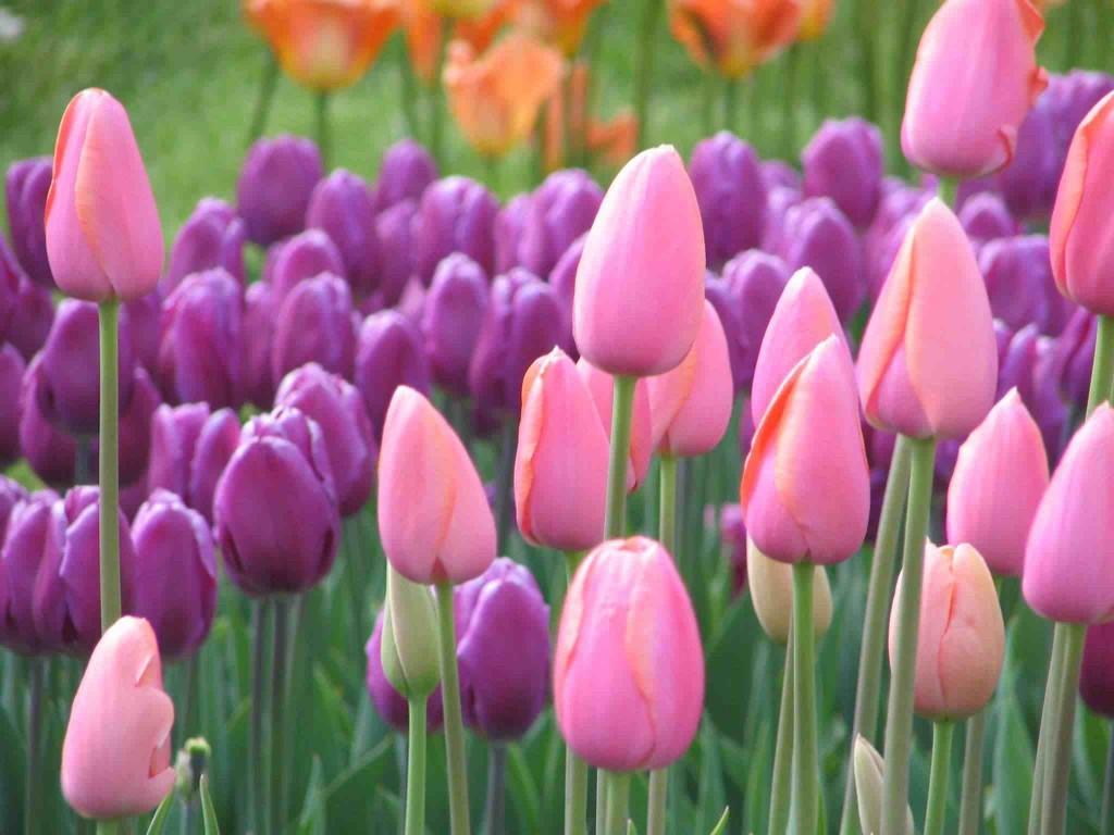 Tulpaner är fortfarande en stor handelsvara i Holland idag.
