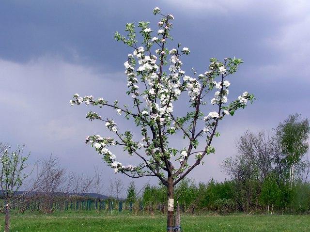 Unga äppleträd beskärs noga för att ge trädet en bra form och goda möjligheter till riklig framtida produktion.