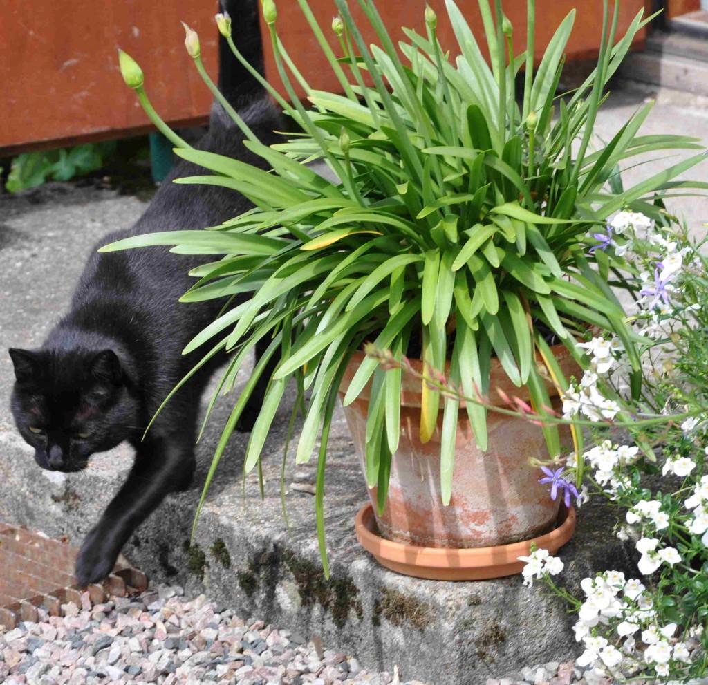 Agapanthus tar tid på sig att börja växa och sätta knopp.