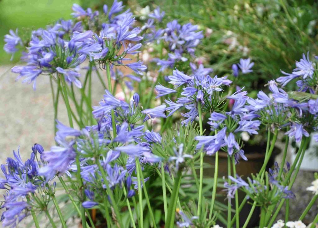 Afrikas blå lija är en vacker växt som ska stå svalt över vintern.