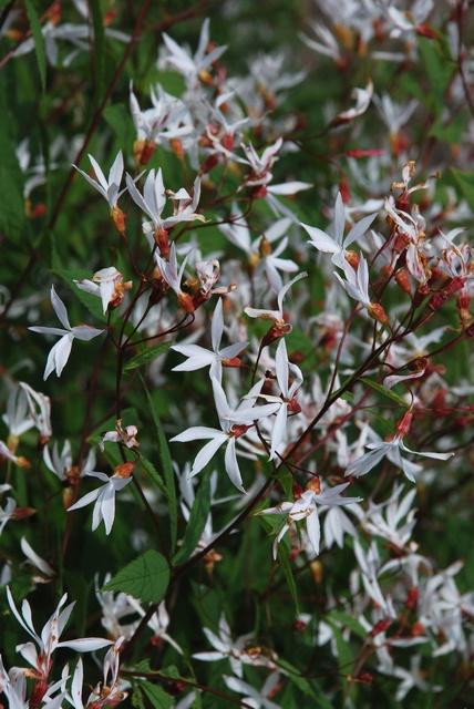 Gillenians vita blommor står som en sky ovanför bladverket.