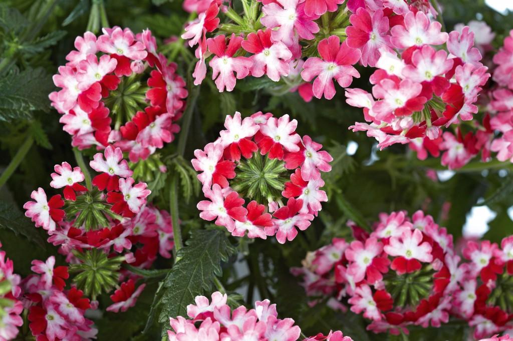 Trefärgade blommor hos den nya verbenan lär locka kunder.