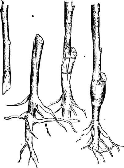 En skarvymp görs på grundstam och ympkvist av samma tjocklek.