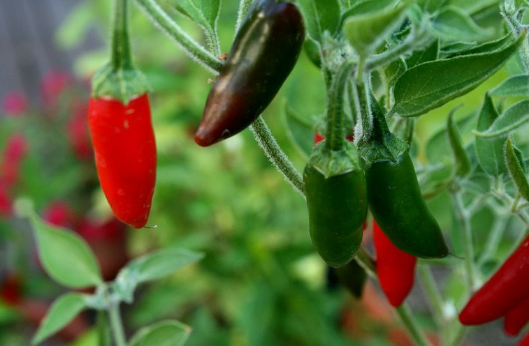 Chili är en växt med lång utvecklingsperiod och den ska sås redan i februari-mars för att hinna sätta frukt.