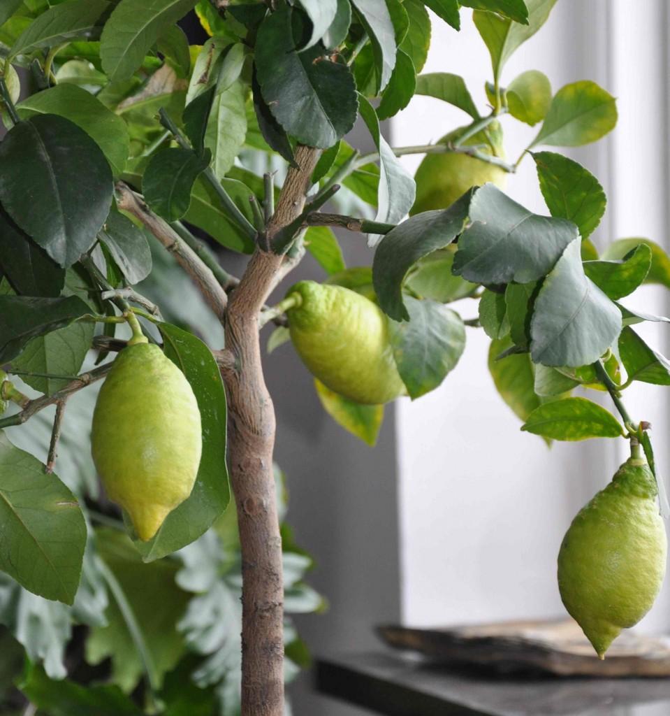 Citrusträden övervintrar svalt och sätter frukt hela året om.