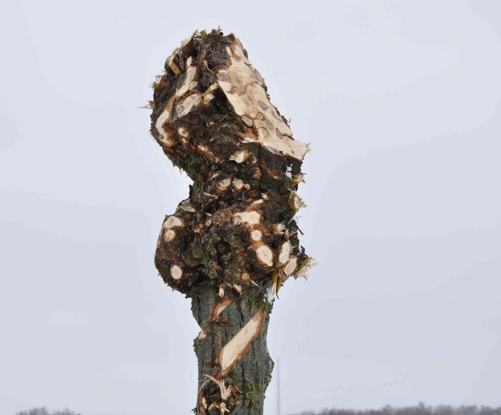 Motorsågen är inte rätt redskap att använda för beskärning av pilar eller andra träd för den delen.