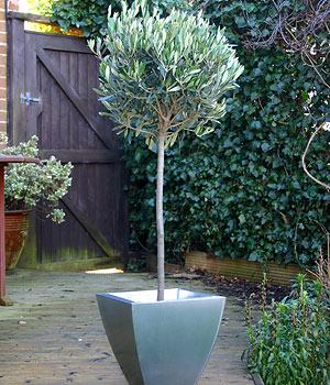 Olivträdet tål några minusgrader, men ska övervintra frostfritt.