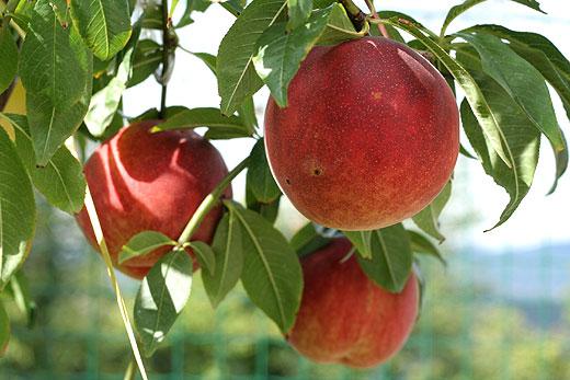 Persikan är ett fruktträd som älskar värme och långa somrar.
