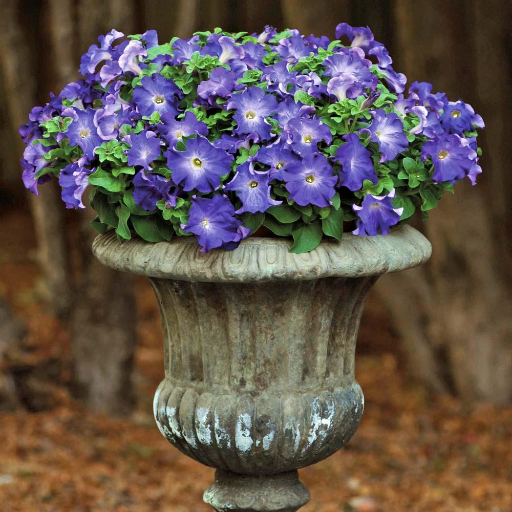 Intensivt blåblommande petunian lyser upp även i skuggan.