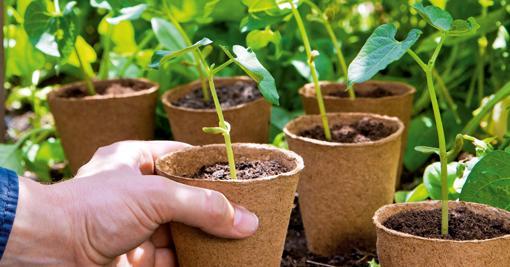 Större fröer från växter med ömtåliga rötter sår du helst ett och ett.