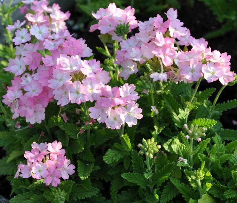 Den rosa trädgårdsverbenan har täta blomställningar med läckert melerade blommor.