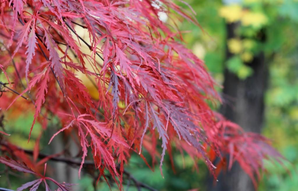 Japanska flikbladiga lönnen Inabe-shidare har en mörkröd bladfärg hela växtsäsongen.
