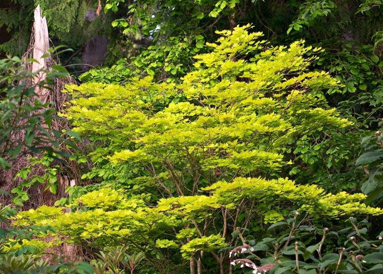 Gulbladig japansk solfjäderslönn med sina limegula blad är en vacker kontrastväxt.