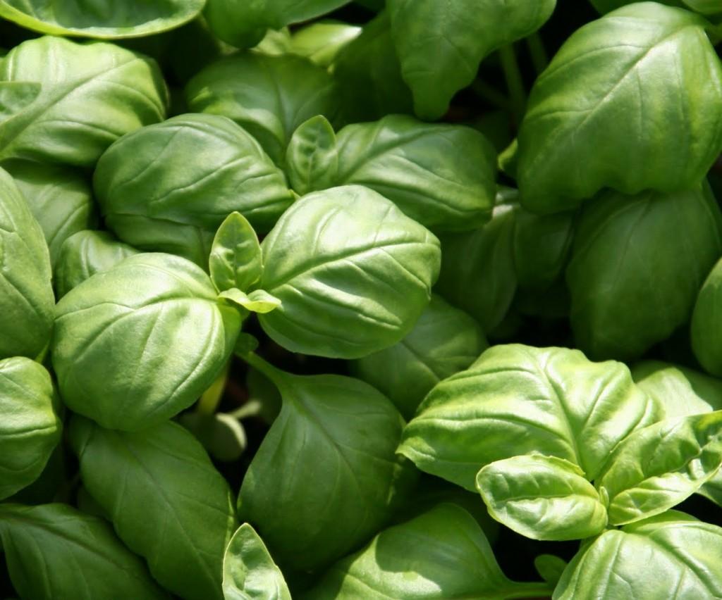 Basilikan är en lättodlad och aromatisk kryddväxt som många gillar.