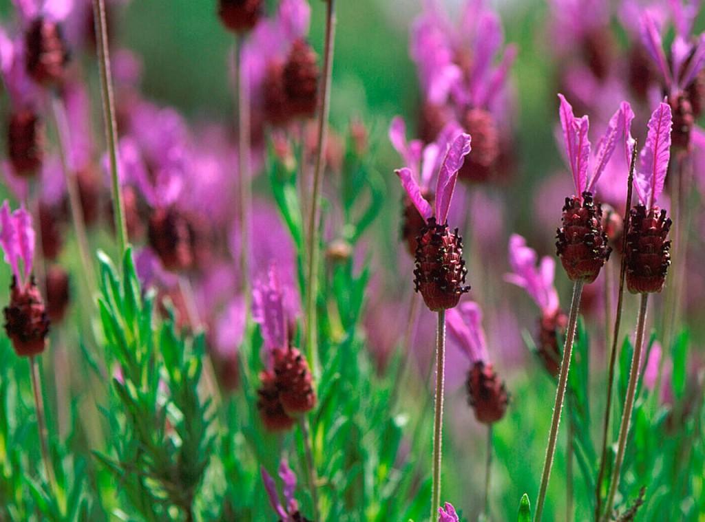 Skärmlavendeln har spännande blommor över lång tid, men sämre härdighet.