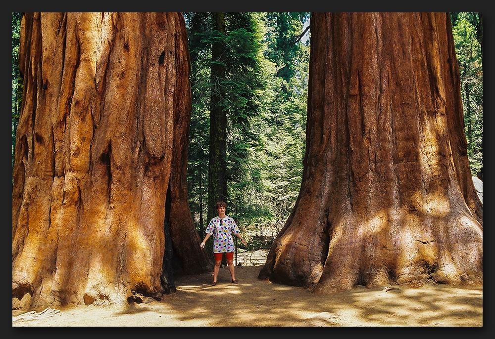 Mammutträd i Kalifornien.