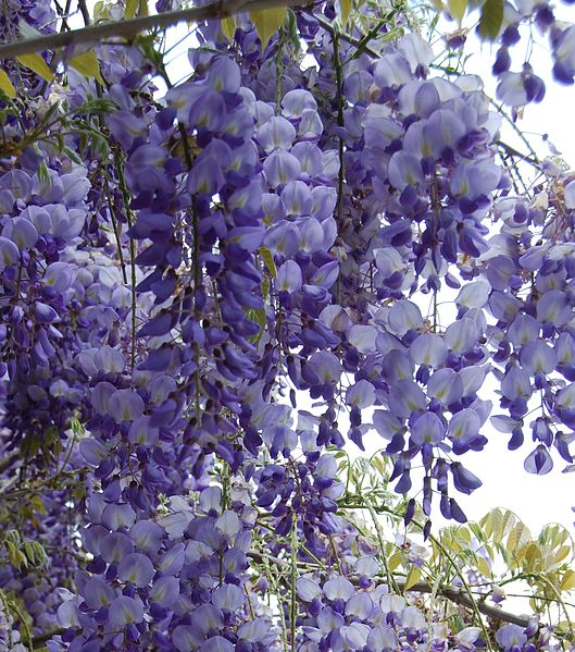 Lavendelblå blomklasar av blåregn eller wisteria är en mäktig syn.