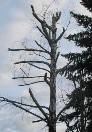 Björken hör till de träd som helst inte ska beskäras.