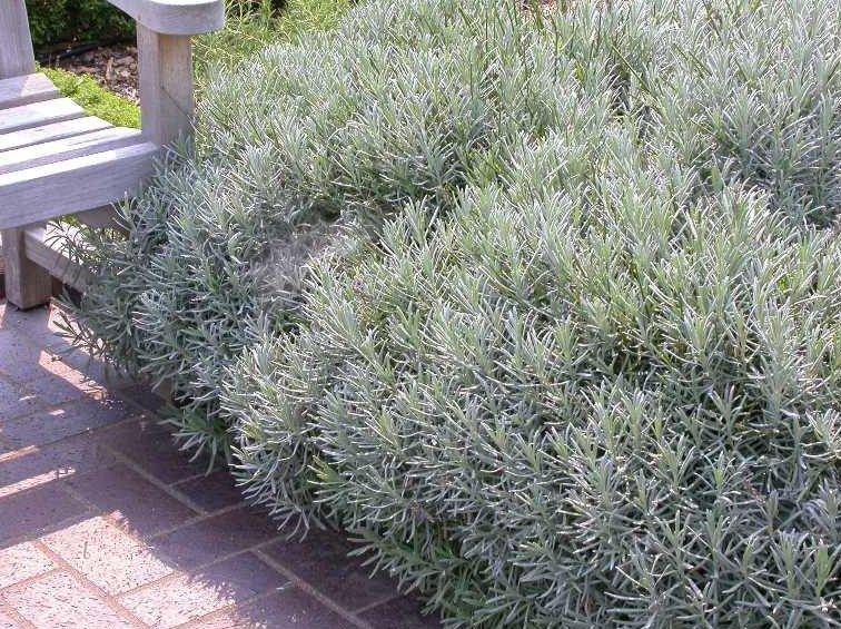 Silvergrått till grågrönt, aromatiskt bladverk hör lavendeln till.