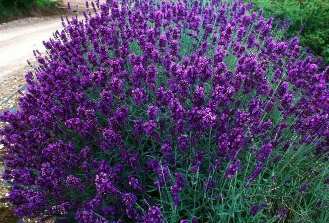 Lavendeln 'Hidcote' har en fantastisk blå färg.