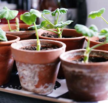 Nyplanterade skott av pelargon mår bra i lerkrukor.