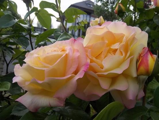 Den storblommiga rosen 'Mme A. Meilland' är exempel på en näringskrävande ros.