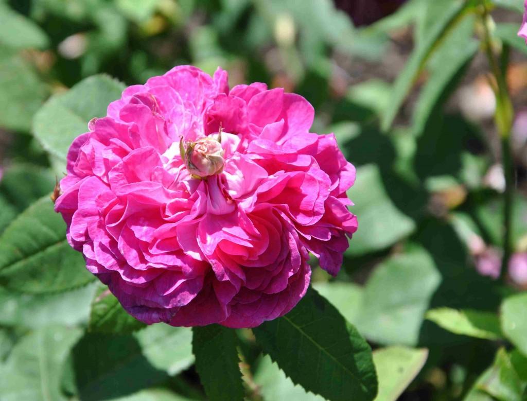 Rose de Rescht har en lilaröd färg och stark rosdoft.