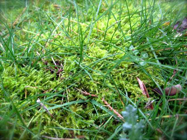 Mossa i gräsmattan kräver mycket jobb att bli av med.