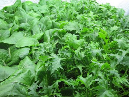 Bladgrönsaker som pak choi och mizuna är mycket energitätare än vanlig sallad.