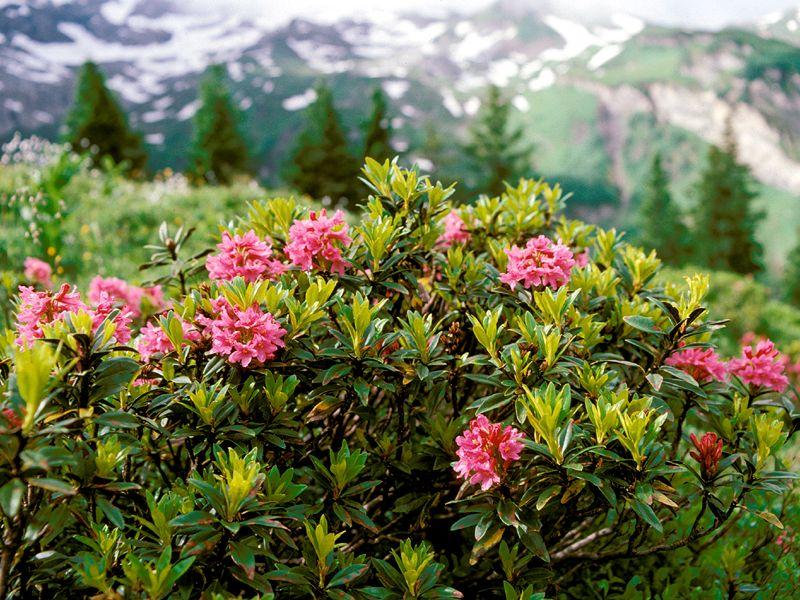Sura jordar är den bästa växtmiljön för rhododendron.