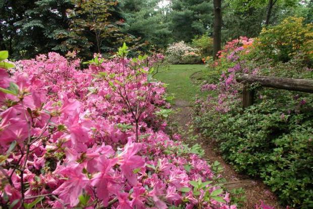 Skogsgläntan passar utmärkt för rhododendron med den sura jord som bildas under barrträd eller bok och ek.