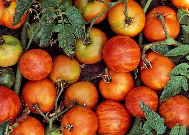 Tigerella är en tidigt bördig tomatsort med gulrandiga frukter.