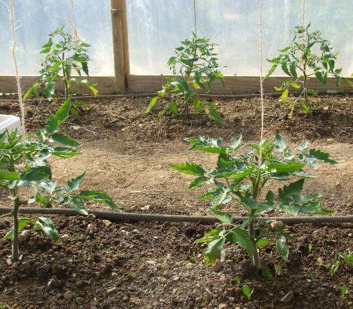 Tomatplantorna binds upp med hängande snören.