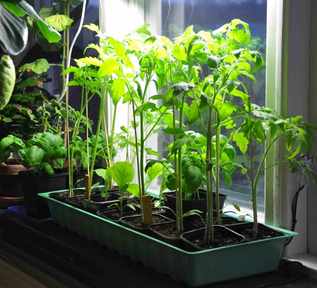 Tomaterna kräver mycket ljus, redan som småplantor.