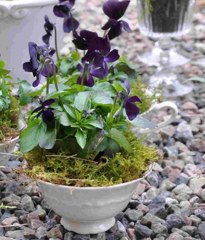 En liten småblommig viol kan stå i en vacker kopp.