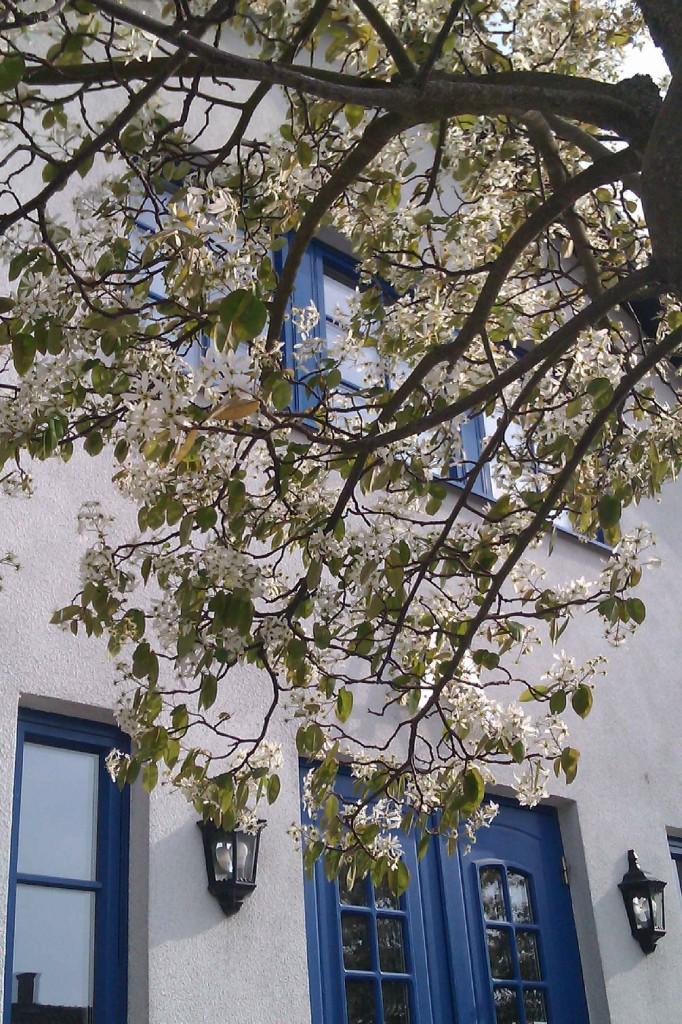 Häggmispeln blommar i maj med vita blommor.