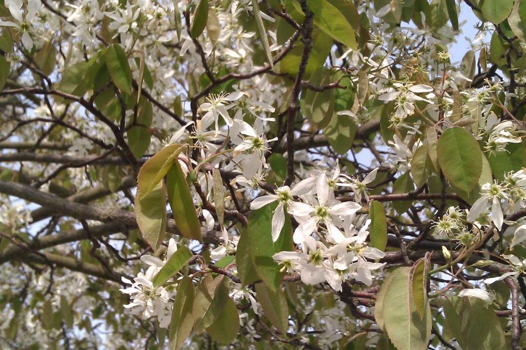 Häggmispeln har en riklig blomning med vita blommor i maj månad.