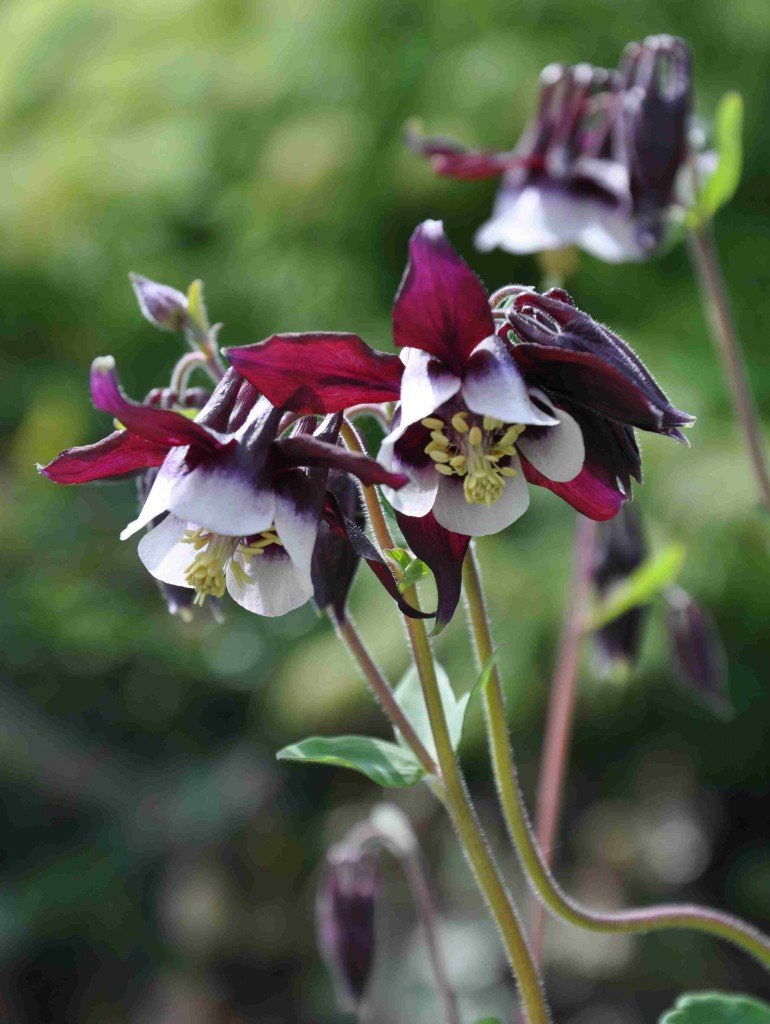 Purpurfärgade hylleblad och vita inre kronblad har denna akleja.