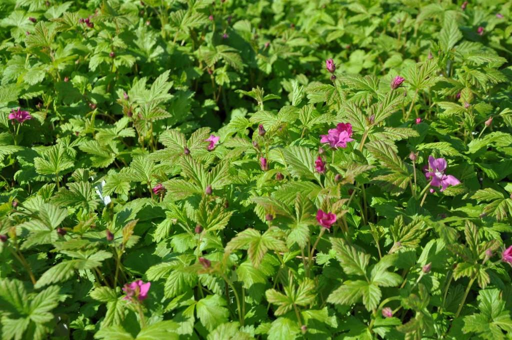 Allåkerbäret är en hybrid mellan vild åkerbär och alaskahallon.