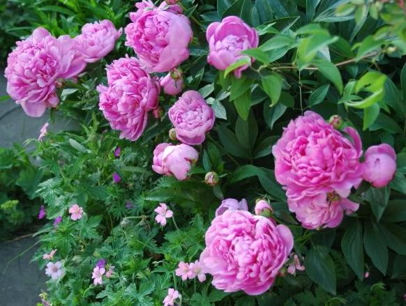Rosa pioner som doftar gott är de underbaraste moromorsblommor.