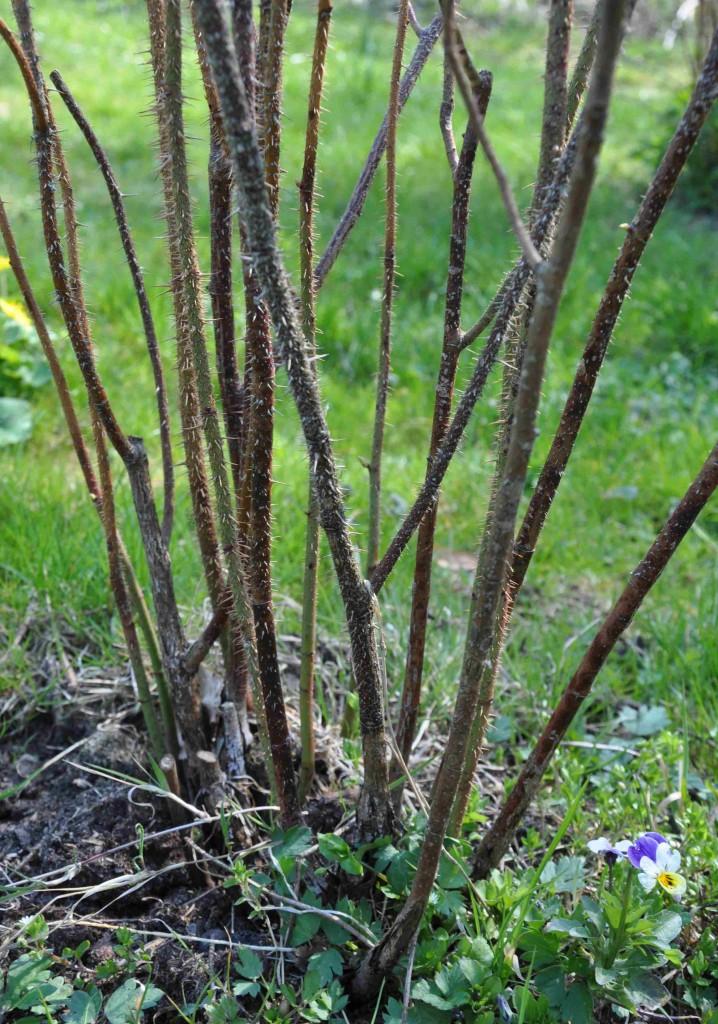 Rosor utvecklas olika snabbt om våren. Vänta med beskärningen om du inte ser några knoppar.