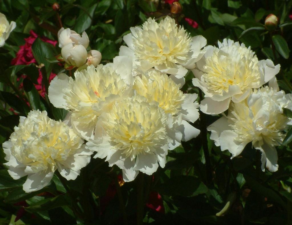 Vita pioner doftar ofta gott. Laura Dessert är en sort med gulvita blommor.