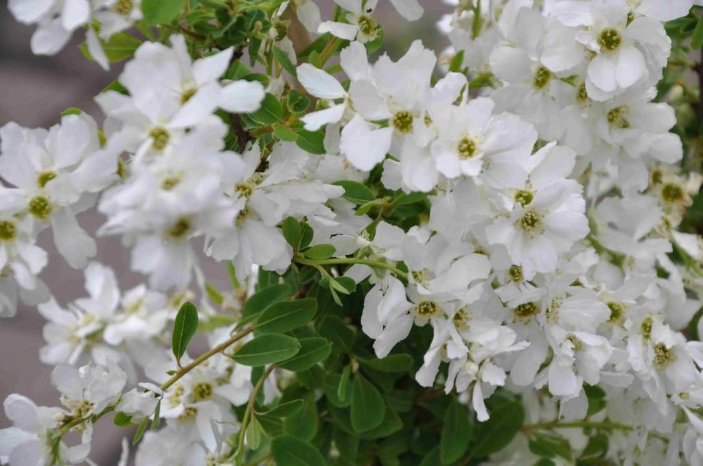 Pärlbusken har pärlliknande runda knoppar som utvecklas till stora vita blommor i täta klasar.