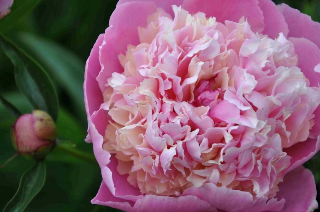 Luktpioner och deras hybrider finns i en mängd rosa och vita sorter. De flesta doftar gott.